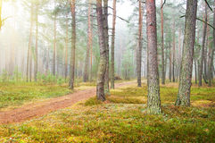 Autumn pine forest Stock Images