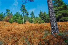 Autumn in a pine forest Stock Images