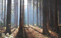 Autumn Pine Forest Stock Photo