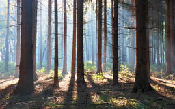Autumn Pine Forest Stock Photography