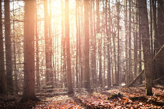 Autumn pine forest. Royalty Free Stock Photos