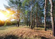 Autumn in a pine forest. Sunset in a beautiful autumn pine forest royalty free stock photo