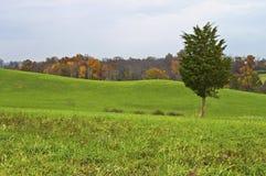 Autumn Pine Stock Photography