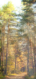 Autumn pine sunny forest Royalty Free Stock Images