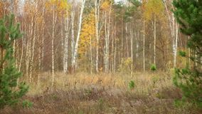 Autumn pine tree forest stock video footage