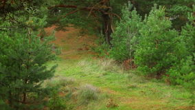 Autumn pine tree forest stock footage