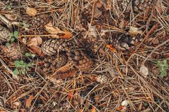 Autumn pinecones with colorful yellow red dry leaves and old pine tree needles on background stock photos
