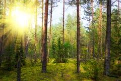 Autumn pinewood. Moss, sun beam Stock Photo
