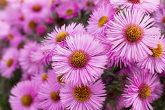 Autumn pink chrysanthemum or aster flowers meadow, floral background Stock Images