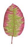 Autumn pink leaf Stock Photos