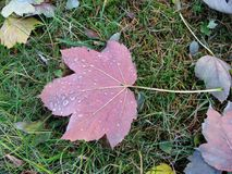 Autumn pink leaf and rain drops Stock Images