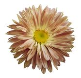 Autumn pink-yellow Aster flower on a white isolated background with clipping path. Flower for design, texture,  postcard, wrapper. Closeup.  Nature Stock Images