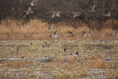 Autumn Pintails. A flock of Pintails take off from a marsh in Autumn Stock Photo