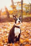 Autumn Pitt que senta-se no parque colorido Fotografia de Stock Royalty Free