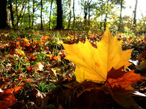 Free Autumn Planetree Leaf Felt On The Forest Ground Stock Photos - 11898653