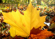 Free Autumn Planetree Leaf Felt On The Forest Ground Royalty Free Stock Photos - 11898658
