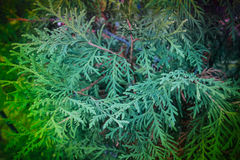 Autumn plant. cypress stock images