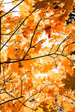 Autumn plant. maple branch in the forest stock image
