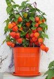 Autumn plant physalis Royalty Free Stock Image