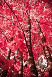 Autumn plant. red maple. royalty free stock photography