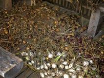Autumn Planting Onion royalty-vrije stock foto's