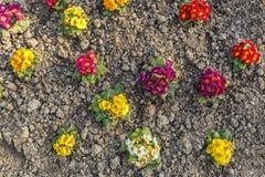 Autumn planting primrose Royalty Free Stock Images