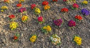 Autumn planting primrose Royalty Free Stock Photography