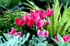 Autumn plants in fresh bed. Cyclamen flower bed with beautiful plants Royalty Free Stock Photos