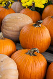 Autumn plump orange pumpkins Stock Image
