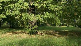 Autumn poplar in city park stock footage
