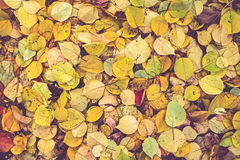 Autumn poplar leaves background Royalty Free Stock Photography