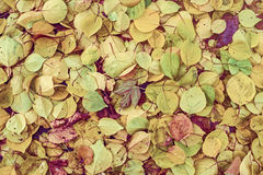 Autumn poplar leaves Royalty Free Stock Images