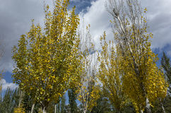 Autumn poplar Royalty Free Stock Photo