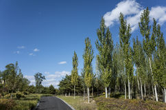 Autumn poplar Stock Photography