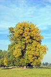 Autumn poplar tree. In green meadow and blue sky Royalty Free Stock Photography