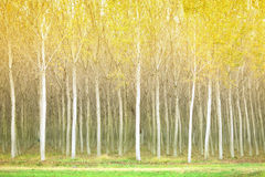 Autumn poplar trees Royalty Free Stock Images