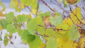 Autumn poplar yellow and green leaves stock video