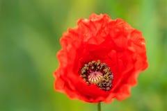 Autumn Poppy rojo imagen de archivo