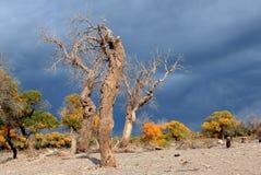 Autumn Populus Stockbild