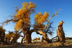 Autumn Populus lizenzfreies stockfoto