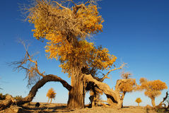 Autumn Populus Lizenzfreies Stockbild