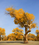 Autumn populus in China Stock Photo