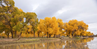 The autumn in Populus euphratica Stock Image
