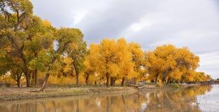 The autumn in Populus euphratica. Chinas Inner Mongolia egina autumn Stock Image