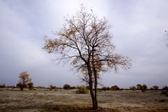 Autumn Populus diversifolia. ,Xinjiang province in China Royalty Free Stock Photos