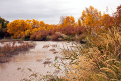 The autumn in Populus euphratica. Chinas Inner Mongolia egina autumn Royalty Free Stock Photo