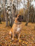 Autumn. The portrait on the background of falling leaves. South African Boerboel - rare breed dogs. stock photos