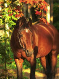 Autumn  portrait of bay beautiful  horse Royalty Free Stock Image