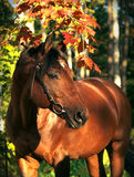 Autumn portrait of the bay horse Royalty Free Stock Photo