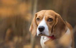 Autumn portrait of Beagle dog. Autumn portrait of beautiful Beagle dog Stock Photos
